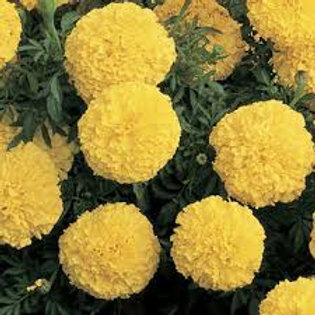 Marigold, Inca II Yellow (FLAT)