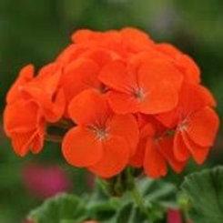 Geranium, Tango Orange