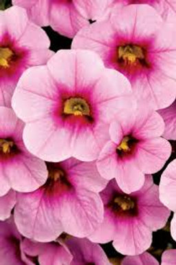 Calibrachoa, Calibasket Pink Doll