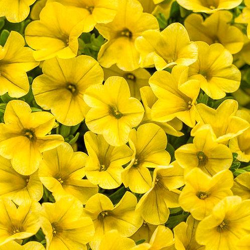 Calibrachoa, Superbells Yellow