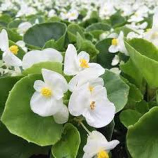 Begonia, Super Olympia White (BOX)