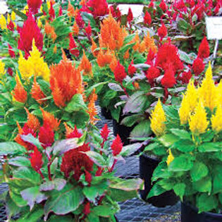 Celosia, Fresh Look Mix (FLAT)