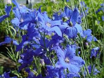 Delphinium, Blue Mirror