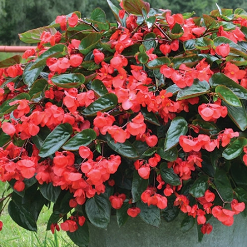 Begonia, Dragon Wing Red with Silver Falls