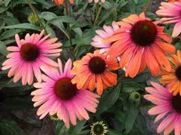 Echinacea, Butterfly Rainbow Marcella Coneflower