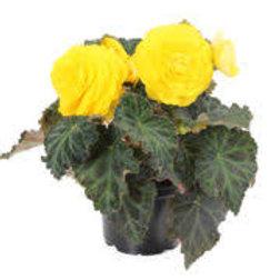 Begonia, Non-Stop Yellow