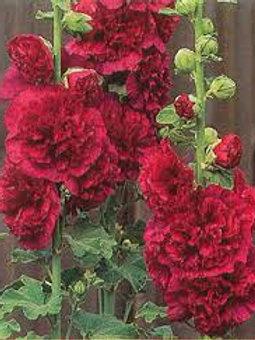 Alcea, Charter's Double Red Hollyhock