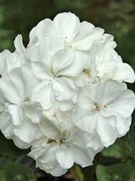 Geranium, Fantasia White
