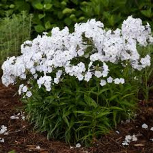 Phlox, Fashionably Early Crystal