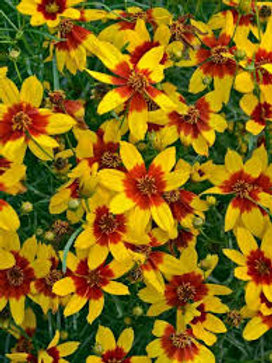 Coreopsis, Sizzle & Spice Curry Up Tickseed