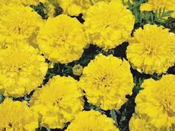 Marigold, Superhero Yellow (FLAT)
