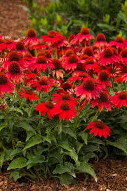 Echinacea, Sombrero Salsa Red Coneflower