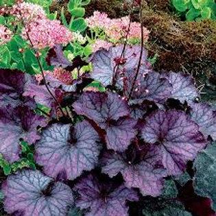 Heuchera, Northern Exposure Purple Coral Bells