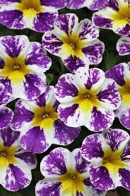 Calibrachoa, Candy Shop Grape Splash