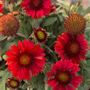 Gailardia, Mesa Red Blanket Flower