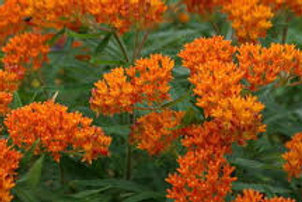 Asclepias, Butterfly Weed