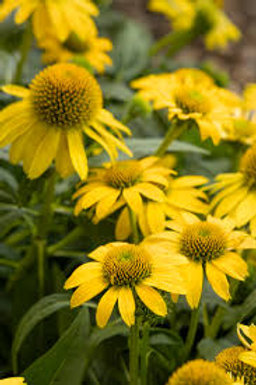 Echinacea, Sombrero Lemon Yellow Coneflower