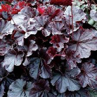 Heuchera, Northern Exposure Black Coral Bells