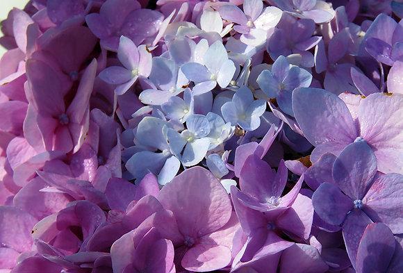 Lavender hydrangea blossom