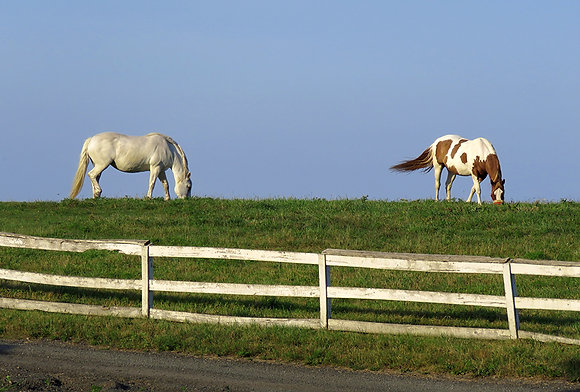 Two horses, a grey and a paint, grazing on a ridge