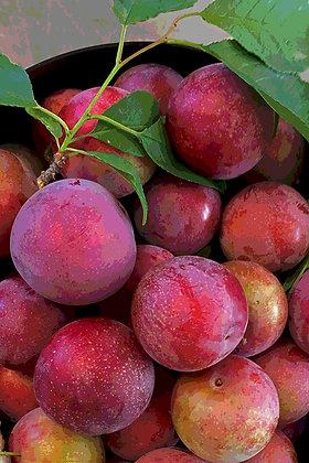 A bucket full of Santa Rosa plums