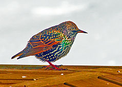 starling jewel 5x7.jpg