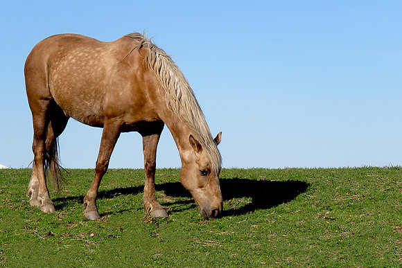 Palomino horse grazing in a Connecticut pasture