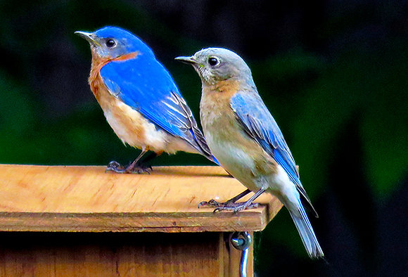 A pair of Eastern bluebirds perches on a nesting box