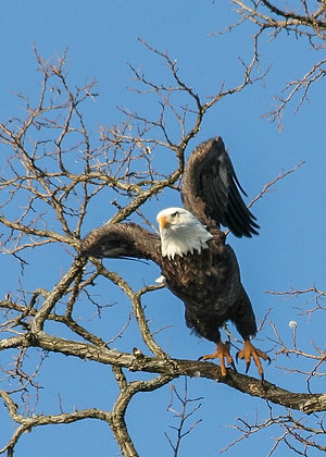 Bald eagle taking flight from branch
