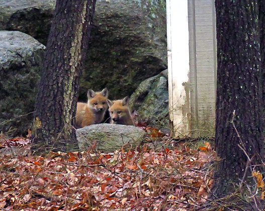 Two young foxes behind a rock