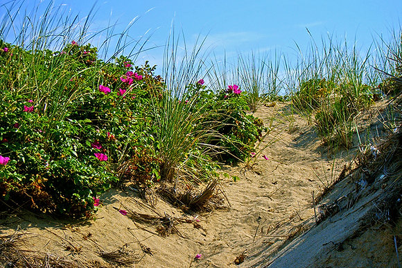 Path through sand dunes, with beach roses and blue sky