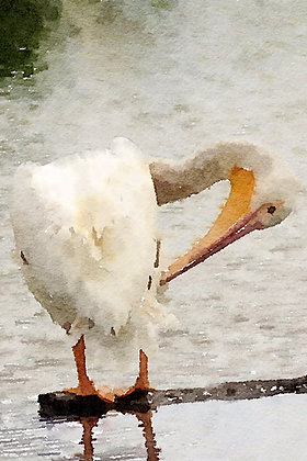 A white pelican preening its feathers