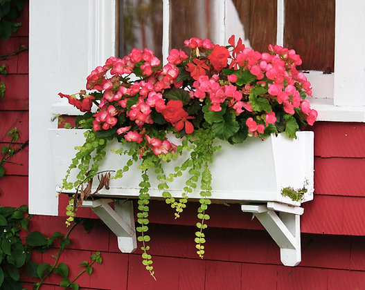 Red house with red geraniums in a white window box