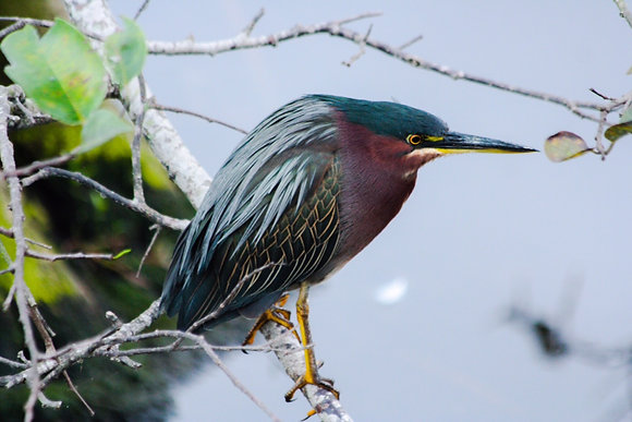 Green heron on branch over water