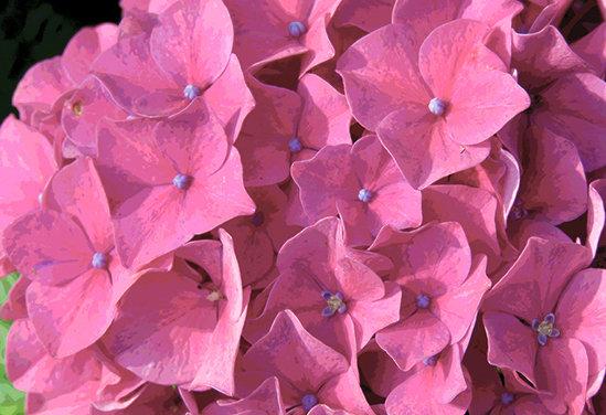A pink hydrangea blossom