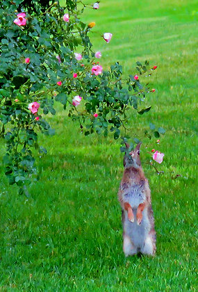 An eastern cottontail rabbit on its hind legs smelling a rose