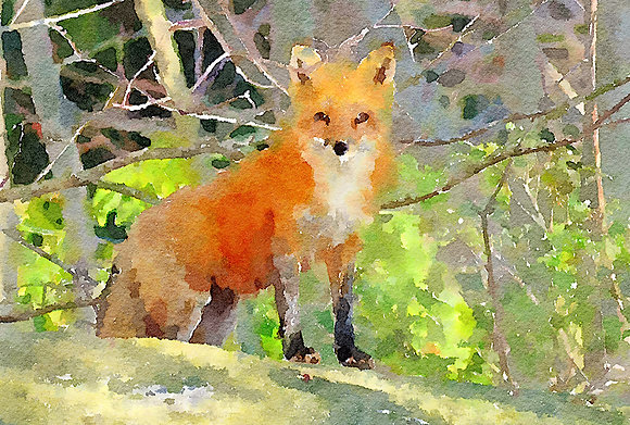 RED FOX VIXEN (WC)