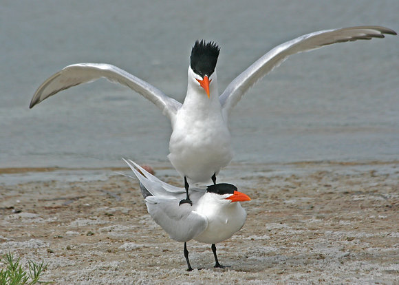 Royal tern breeding pair