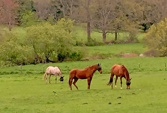 Three horses in a grassy field in late spring