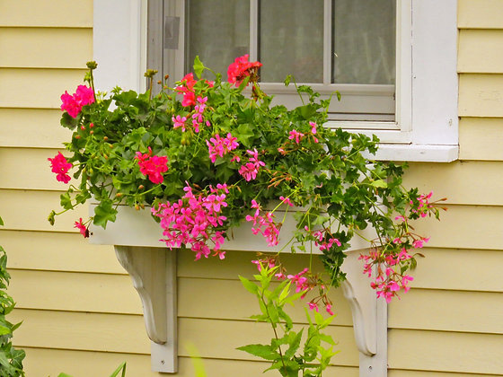 Pink geraniums in a white window box on a yellow clapboard house