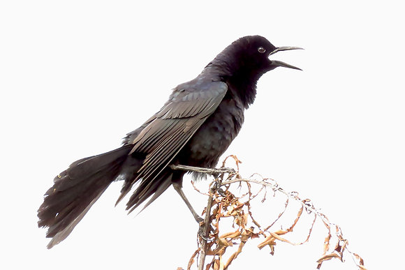 BOAT-TAILED GRACKLE #2