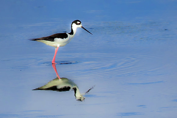 Black-necked stilt with reflection in water