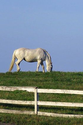 A grey horse grazing on a green pasture
