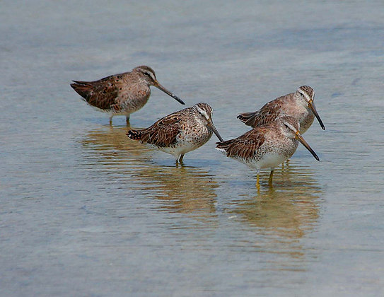 Four dowitchers