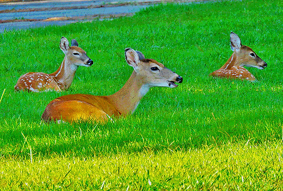 Doe with two spotted fawns