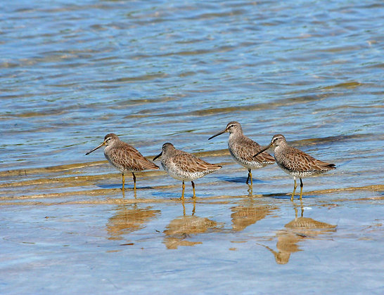 Four short-billed dowitchers