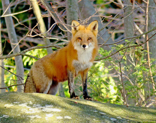 An adult female red fox standing on a rock