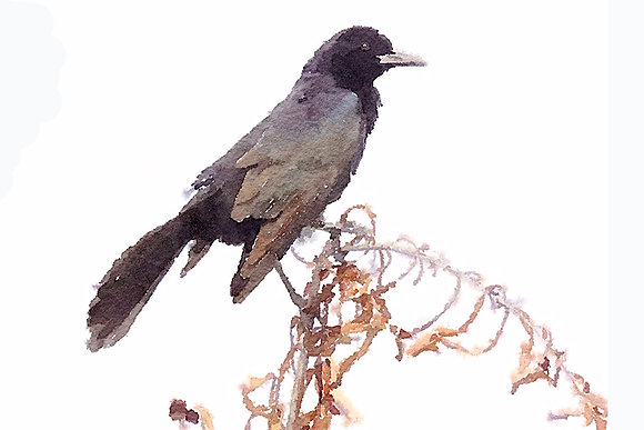 Boat-tailed grackle perched on vegetation