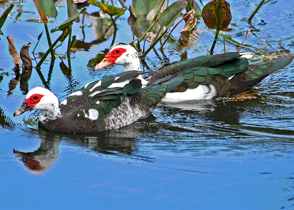 Muscovy ducks
