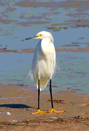 Snowy egret standing on a beach